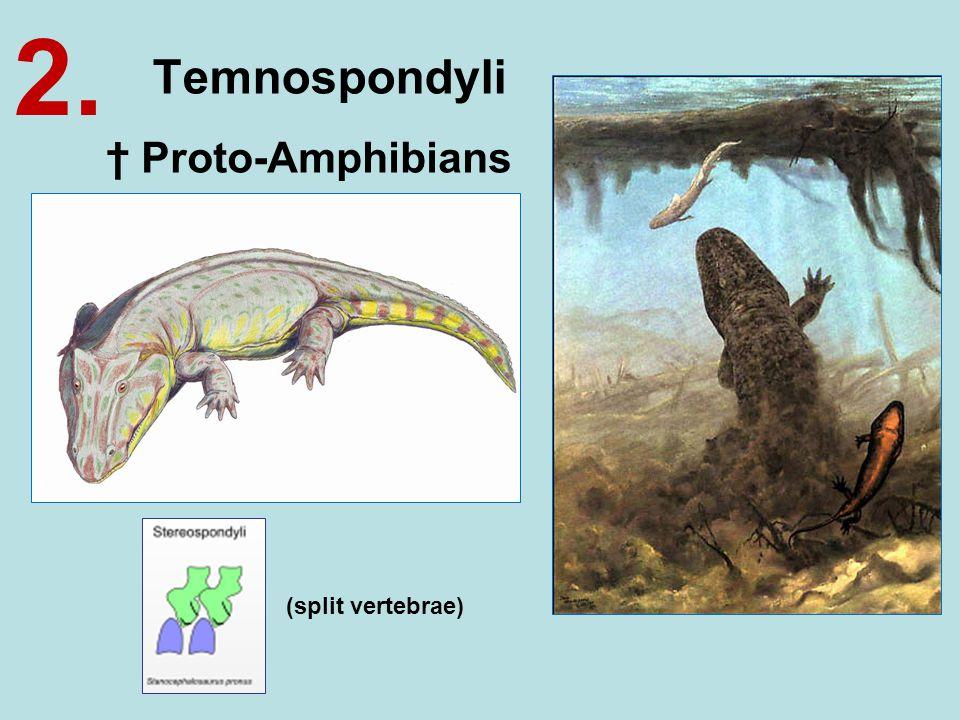 Temnospondyli 2. † Proto-Amphibians (split vertebrae)