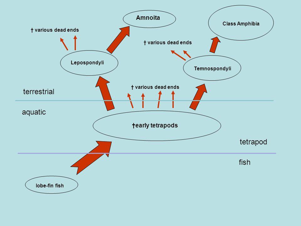 lobe-fin fish †early tetrapods Lepospondyli Amnoita Temnospondyli Class Amphibia † various dead ends aquatic terrestrial fish tetrapod
