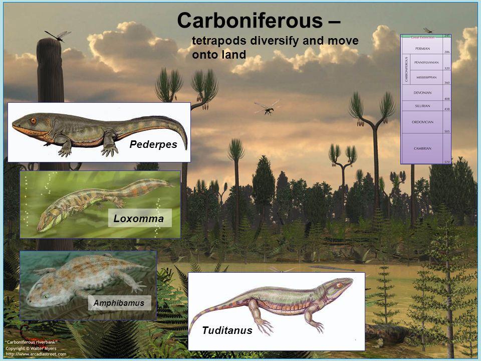 Carboniferous – tetrapods diversify and move onto land Pederpes Loxomma Amphibamus Tuditanus