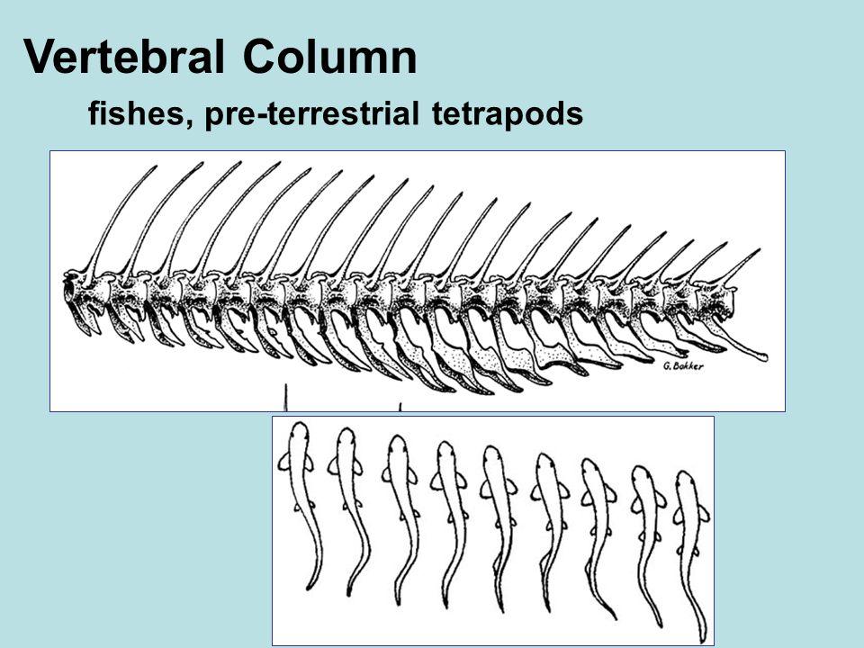 Vertebral Column fishes, pre-terrestrial tetrapods