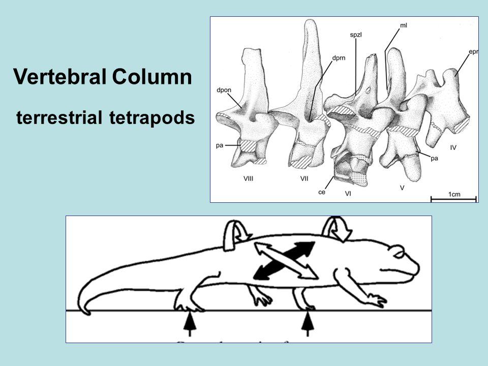Vertebral Column terrestrial tetrapods