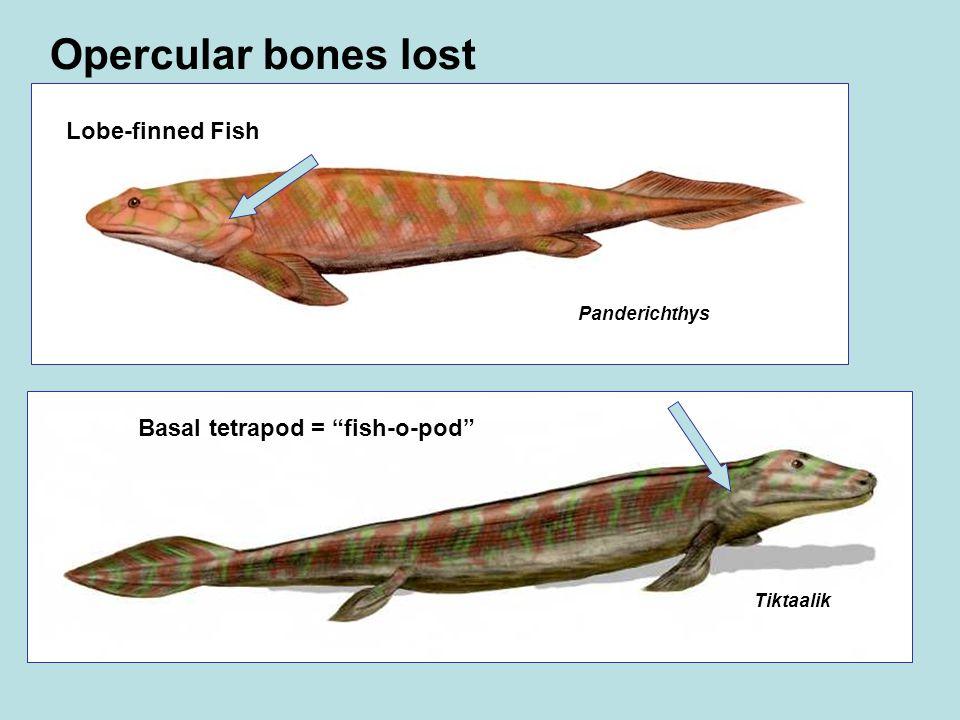 Panderichthys Lobe-finned Fish Tiktaalik Basal tetrapod = fish-o-pod Opercular bones lost