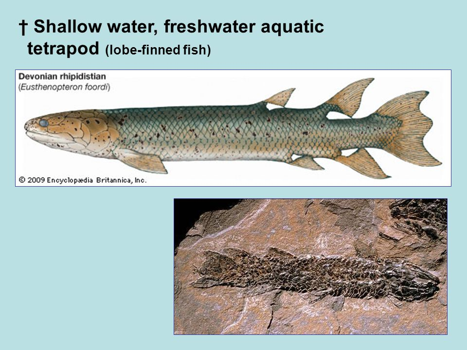 † Shallow water, freshwater aquatic tetrapod (lobe-finned fish)