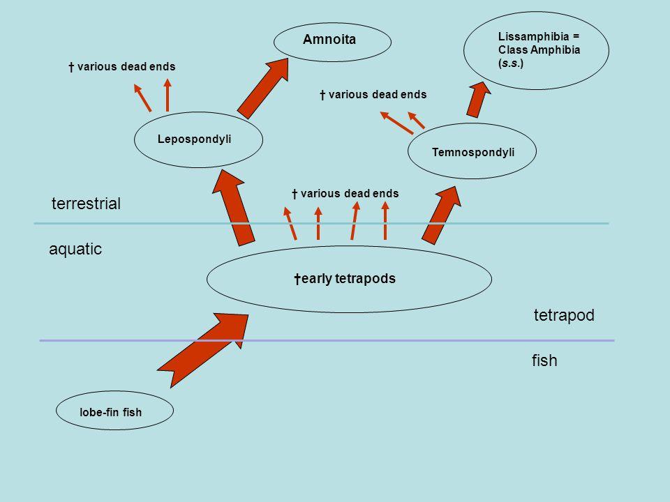 lobe-fin fish †early tetrapods Lepospondyli Amnoita Temnospondyli Lissamphibia = Class Amphibia (s.s.) † various dead ends aquatic terrestrial fish tetrapod