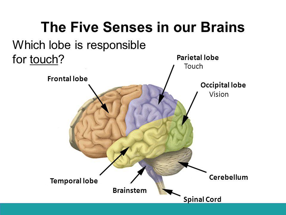 Frontal lobe Parietal lobe Occipital lobe Temporal lobe Cerebellum Spinal Cord Brainstem Vision The Five Senses in our Brains Which lobe is responsible for hearing.
