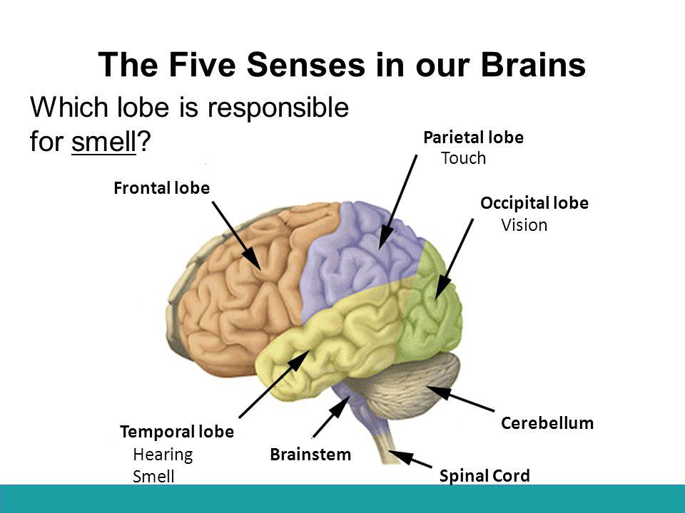 Frontal lobe Parietal lobe Occipital lobe Temporal lobe Cerebellum Spinal Cord Brainstem Vision The Five Senses in our Brains Which lobe is responsible for taste.