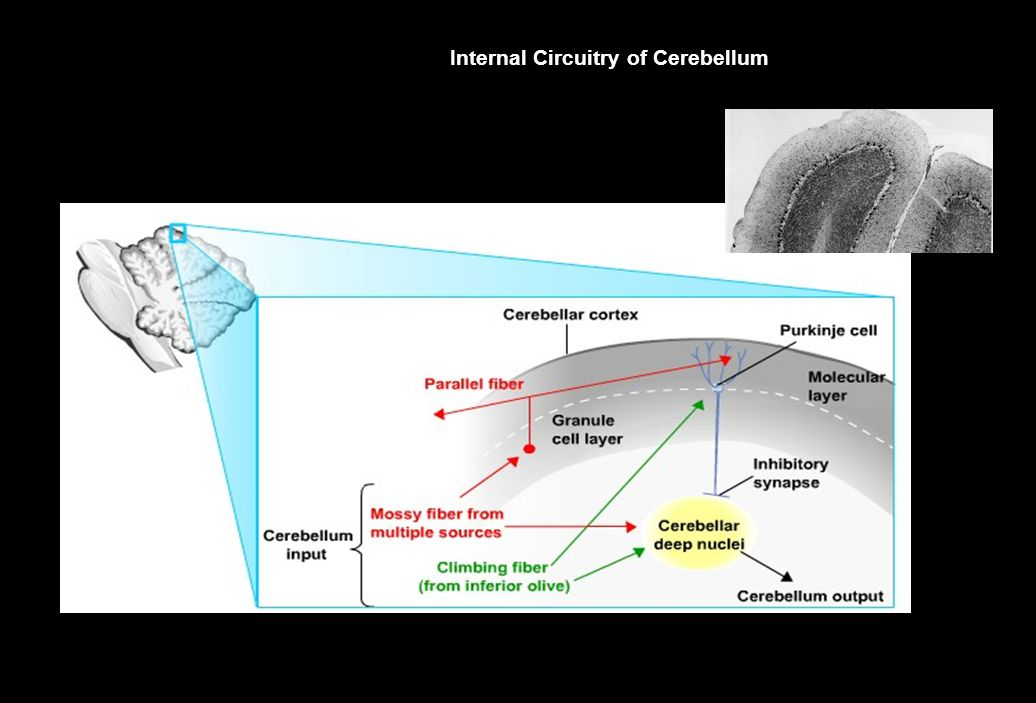 Internal Circuitry of Cerebellum