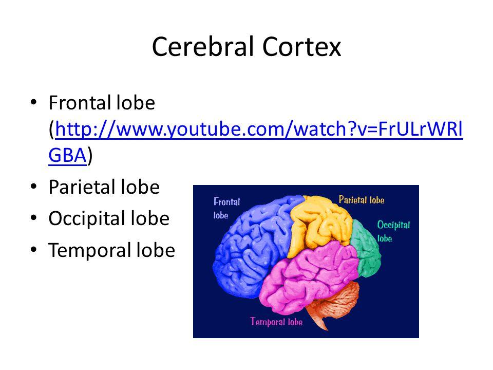 Cerebral Cortex Frontal lobe (http://www.youtube.com/watch v=FrULrWRl GBA)http://www.youtube.com/watch v=FrULrWRl GBA Parietal lobe Occipital lobe Temporal lobe