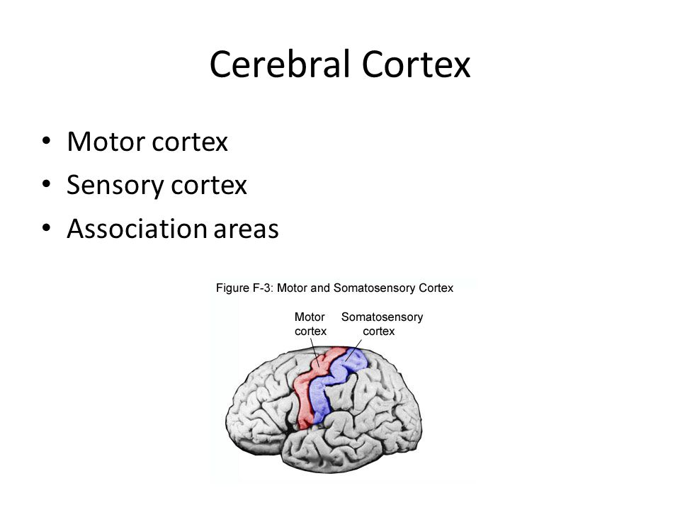 Cerebral Cortex Motor cortex Sensory cortex Association areas