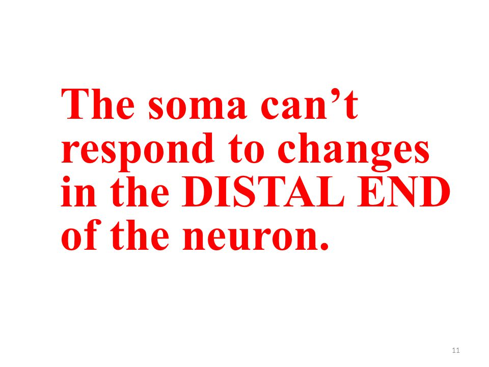 11 The soma can't respond to changes in the DISTAL END of the neuron.