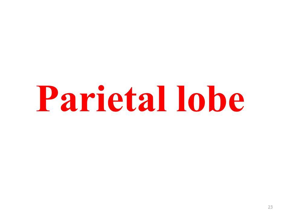 23 Parietal lobe