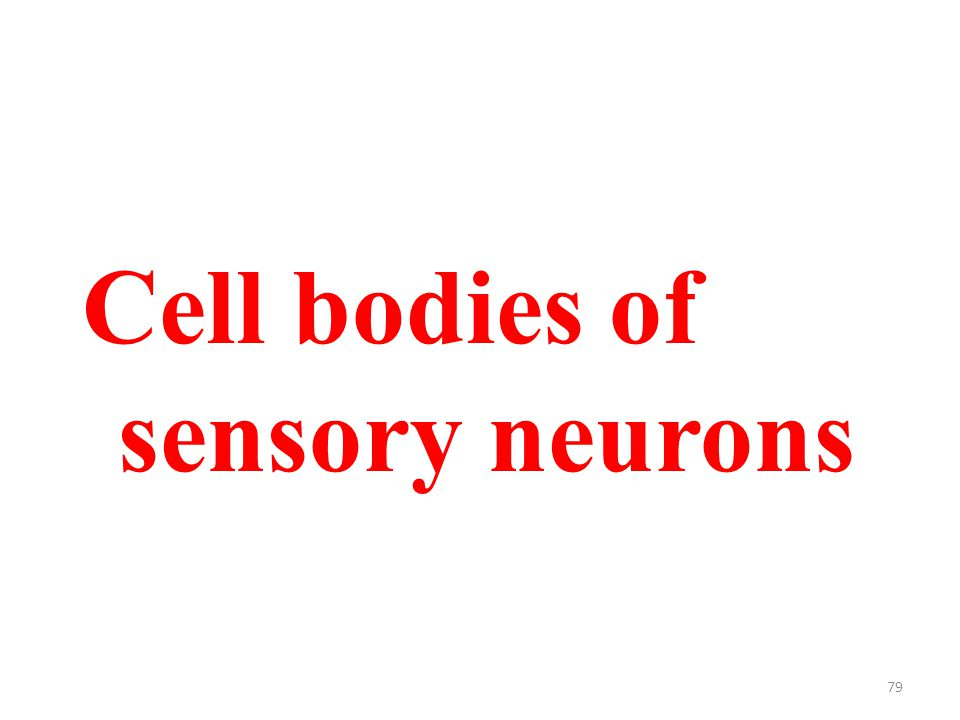 79 Cell bodies of sensory neurons