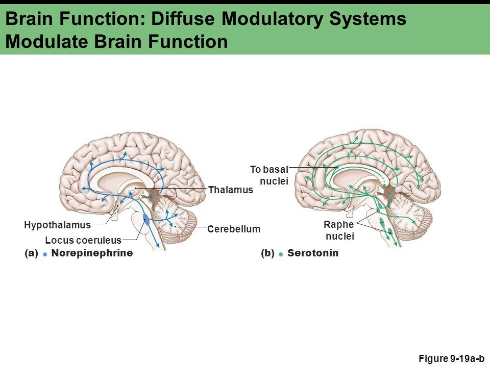 Brain Function: Diffuse Modulatory Systems Modulate Brain Function Figure 9-19a-b Thalamus Hypothalamus Cerebellum Locus coeruleus (a) Norepinephrine To basal nuclei Raphe nuclei (b) Serotonin