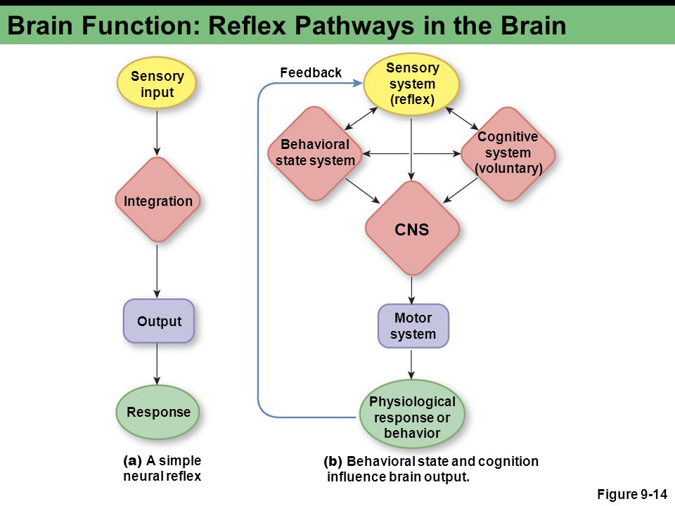 Brain Function: Reflex Pathways in the Brain Figure 9-14 Sensory input Sensory system (reflex) Integration Behavioral state system Cognitive system (voluntary) CNS Output Motor system Response Physiological response or behavior Feedback (a) A simple neural reflex (b) Behavioral state and cognition influence brain output.