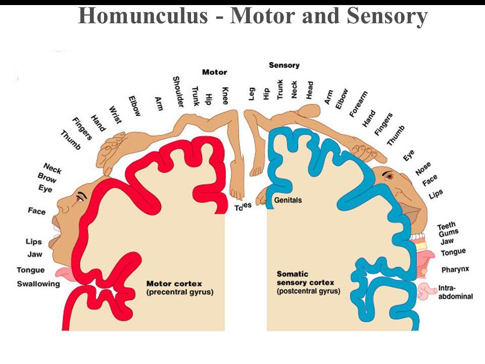 Homunculus - Motor and Sensory