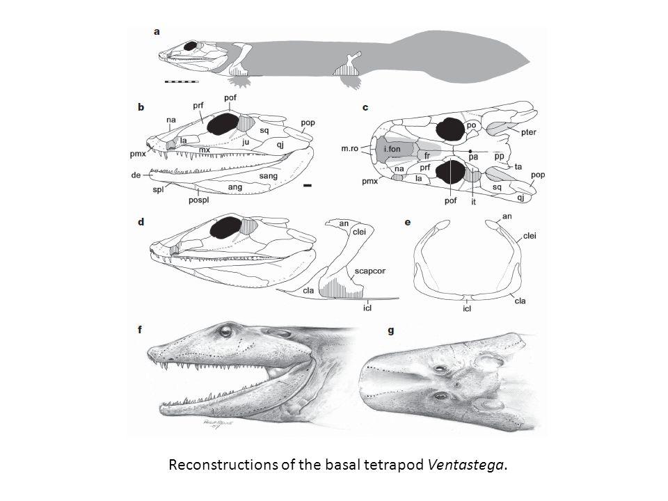 Reconstructions of the basal tetrapod Ventastega.