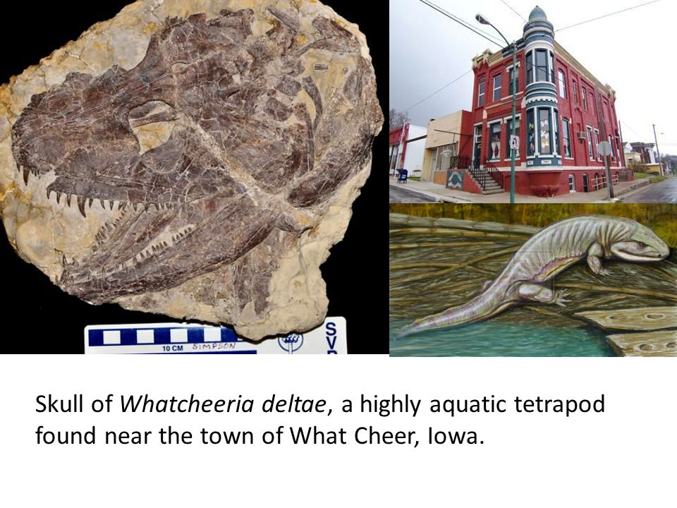 Skull of Whatcheeria deltae, a highly aquatic tetrapod found near the town of What Cheer, Iowa.