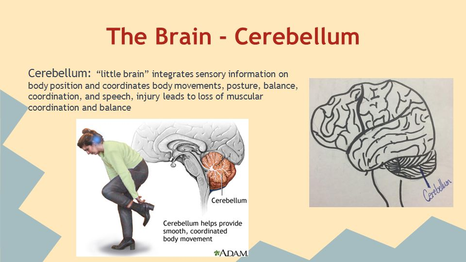 "The Brain - Cerebellum Cerebellum: ""little brain"" integrates sensory information on body position and coordinates body movements, posture, balance, co"