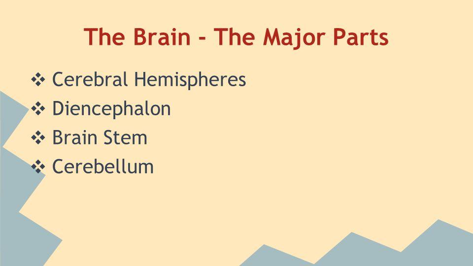 The Brain - The Major Parts ❖ Cerebral Hemispheres ❖ Diencephalon ❖ Brain Stem ❖ Cerebellum