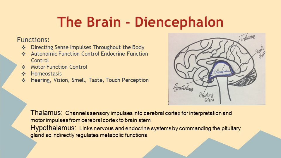 The Brain - Brain Stem (connects cerebrum to spinal cord) Midbrain: contains visual and auditory tracking reflex centers Pons: relay stations for impulses going from medulla oblongata to cerebrum, and cerebrum to cerebellum Medulla Oblongata: crosses over sensory and motor impulses, so left cerebral hemisphere controls right half of body and vice versa; control center of vital functions (i.e.