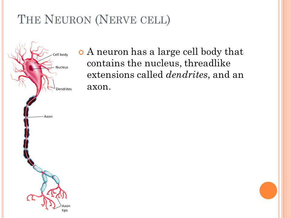 T HE N EURON (N ERVE CELL ) A neuron has a large cell body that contains the nucleus, threadlike extensions called dendrites, and an axon.
