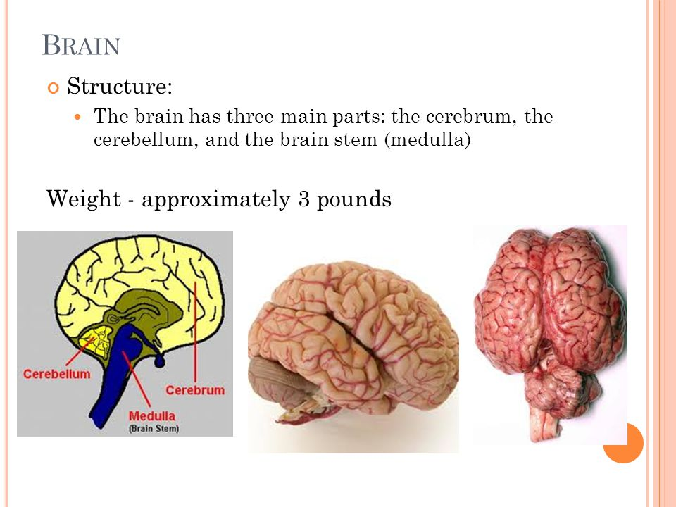 B RAIN Structure: The brain has three main parts: the cerebrum, the cerebellum, and the brain stem (medulla) Weight - approximately 3 pounds