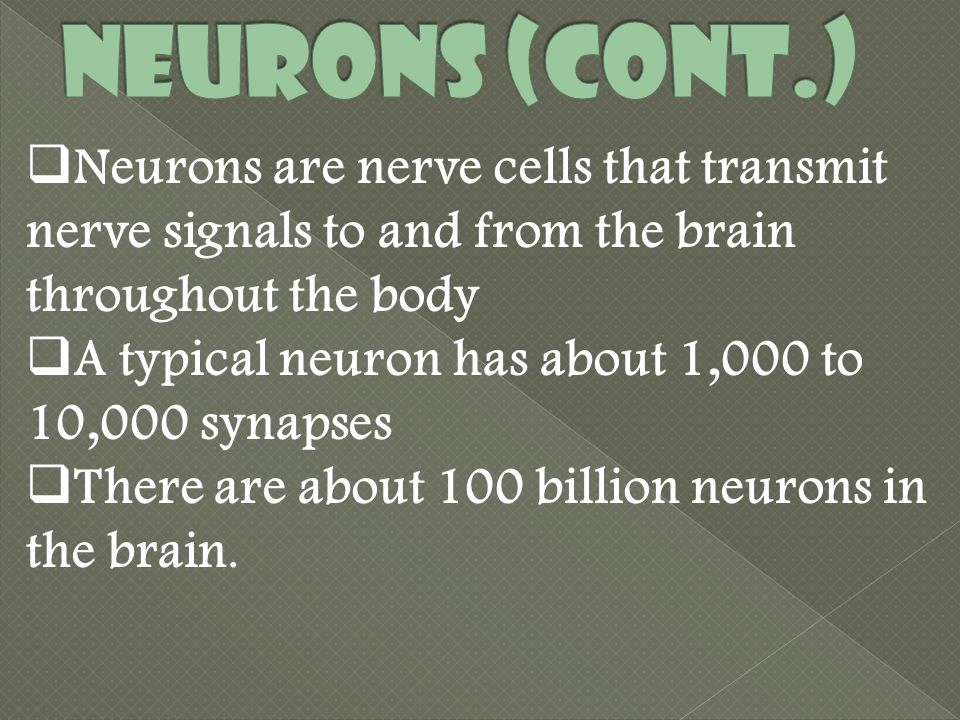  Neurons are nerve cells that transmit nerve signals to and from the brain throughout the body  A typical neuron has about 1,000 to 10,000 synapses  There are about 100 billion neurons in the brain.