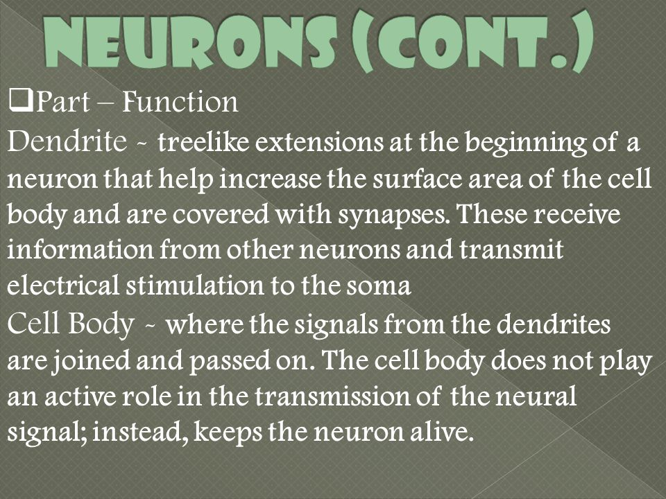  Part – Function Dendrite - treelike extensions at the beginning of a neuron that help increase the surface area of the cell body and are covered with synapses.