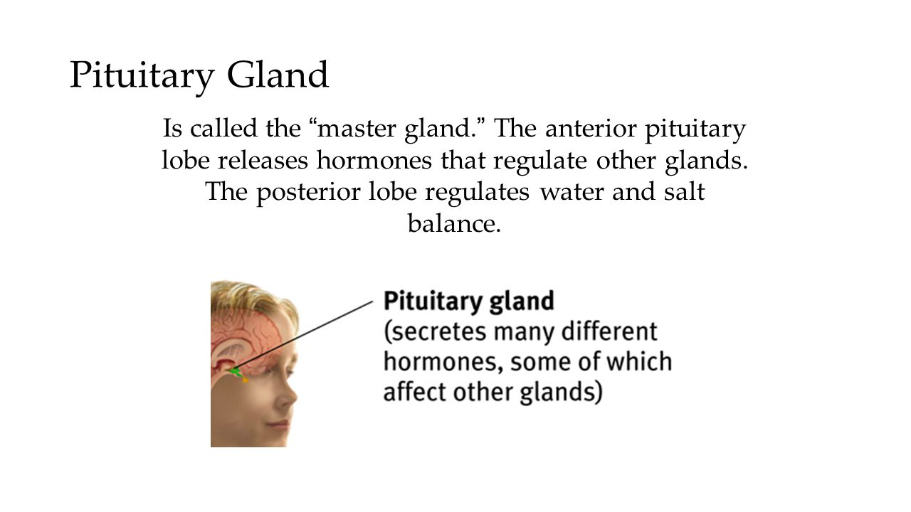 "Pituitary Gland Is called the ""master gland."" The anterior pituitary lobe releases hormones that regulate other glands. The posterior lobe regulates w"