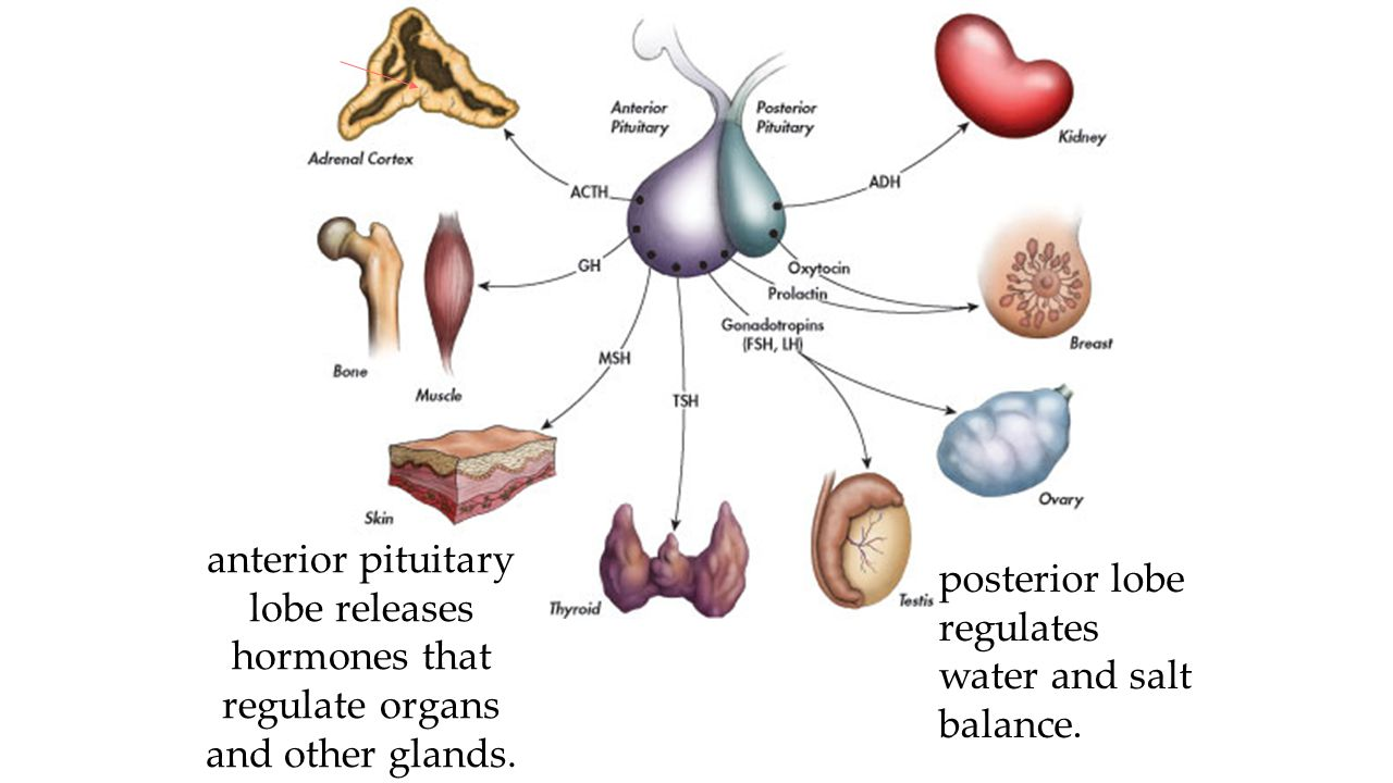 anterior pituitary lobe releases hormones that regulate organs and other glands. posterior lobe regulates water and salt balance.