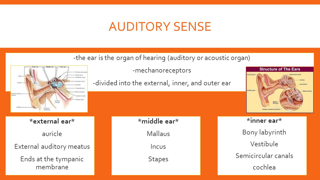 AUDITORY SENSE  -the ear is the organ of hearing (auditory or acoustic organ)  -mechanoreceptors  -divided into the external, inner, and outer ear