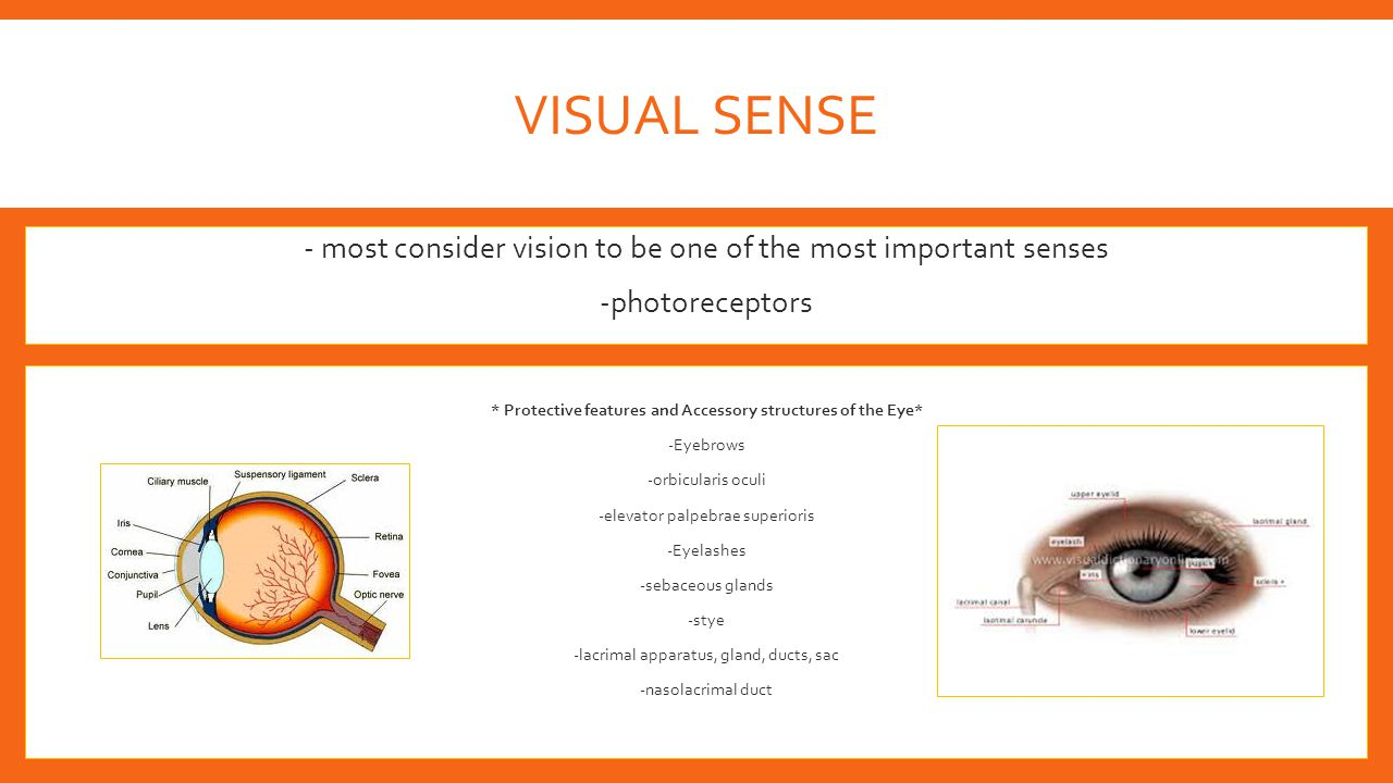 VISUAL SENSE -- most consider vision to be one of the most important senses --photoreceptors -* Protective features and Accessory structures of the Ey