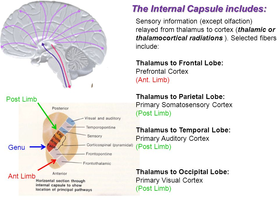 The Internal Capsule includes: Sensory information (except olfaction) relayed from thalamus to cortex (thalamic or thalamocortical radiations ). Selec