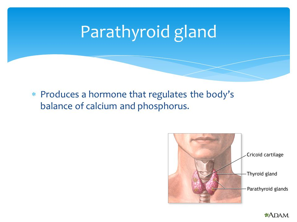  Regulates and controls the activities of all other endocrine glands. Pituitary gland