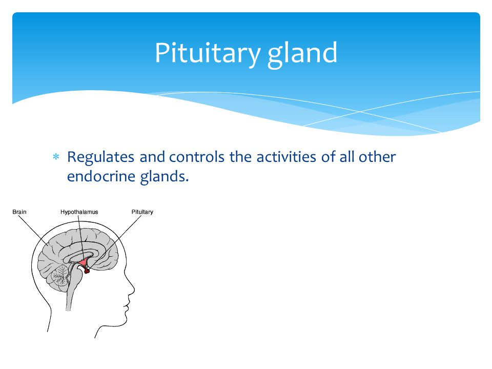  The smaller inner region that is controlled by the hypothalamus and the autonomic nervous system.