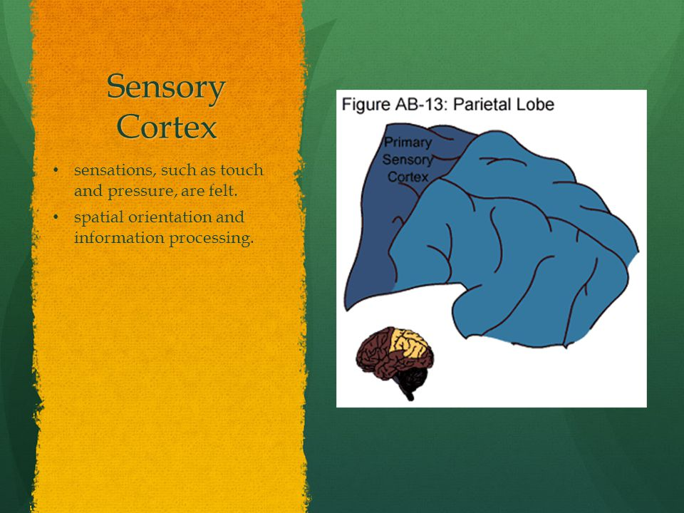 Sensory Cortex sensations, such as touch and pressure, are felt.