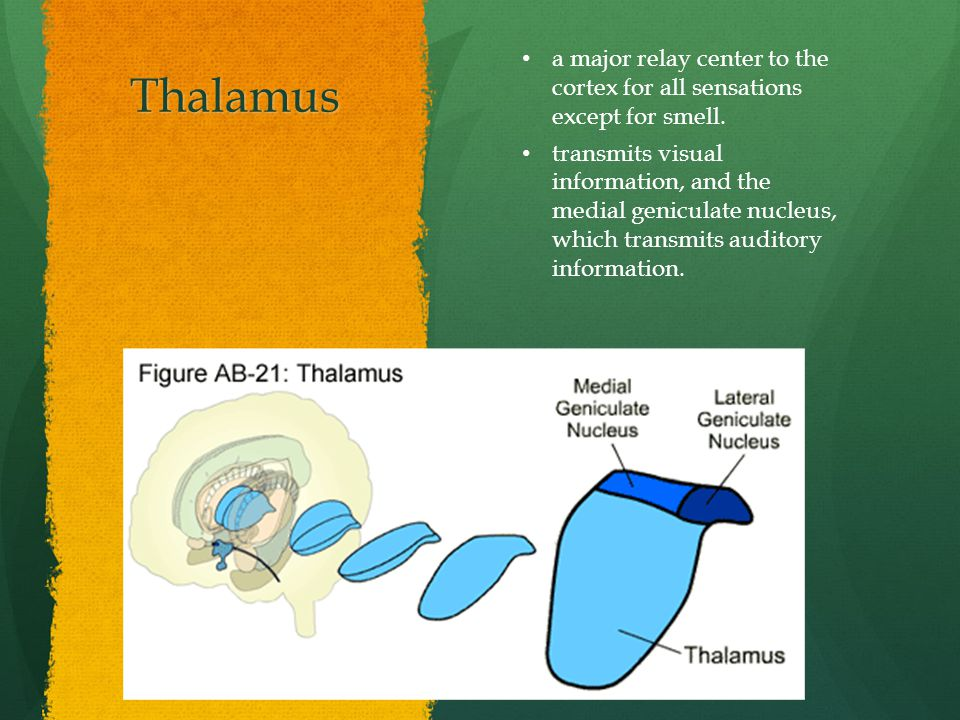 Thalamus a major relay center to the cortex for all sensations except for smell.