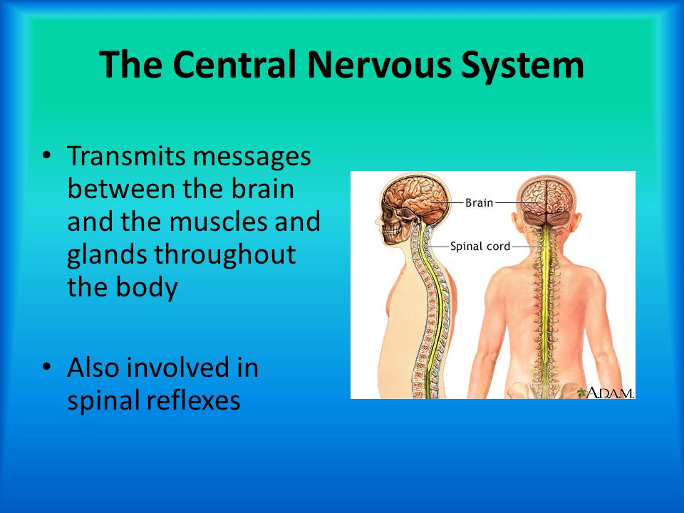 The Central Nervous System Transmits messages between the brain and the muscles and glands throughout the body Also involved in spinal reflexes