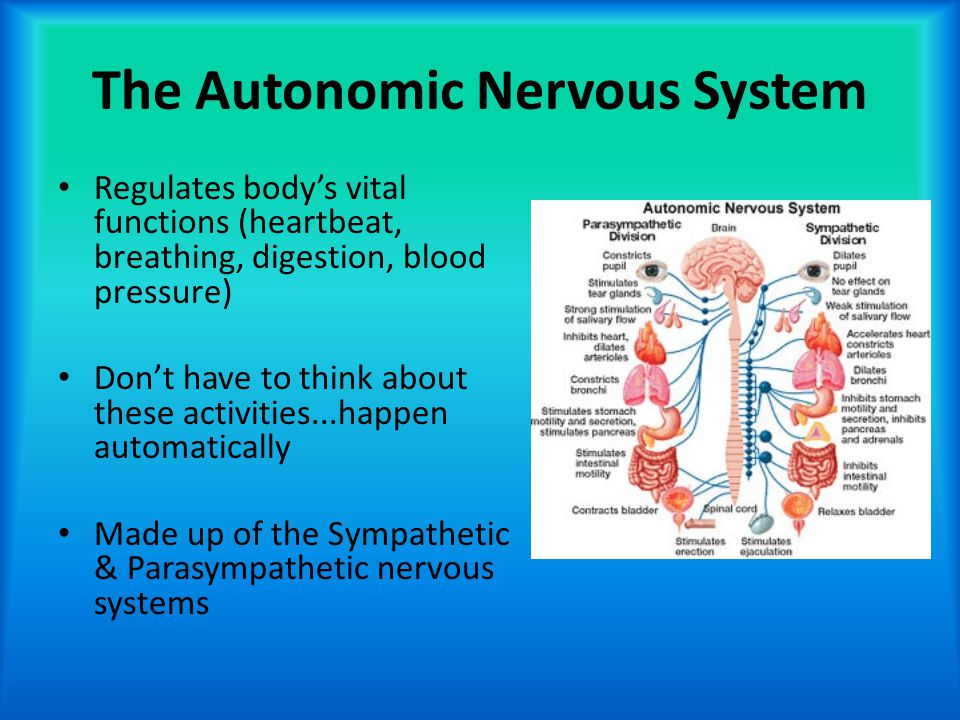 The Autonomic Nervous System Regulates body's vital functions (heartbeat, breathing, digestion, blood pressure) Don't have to think about these activi