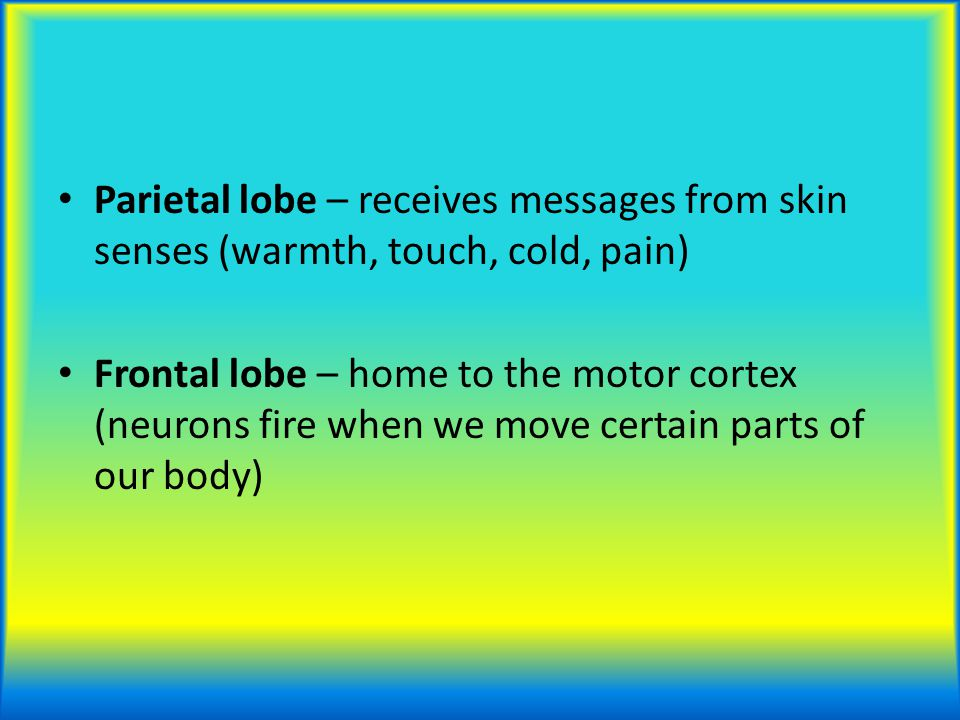 Parietal lobe – receives messages from skin senses (warmth, touch, cold, pain) Frontal lobe – home to the motor cortex (neurons fire when we move cert