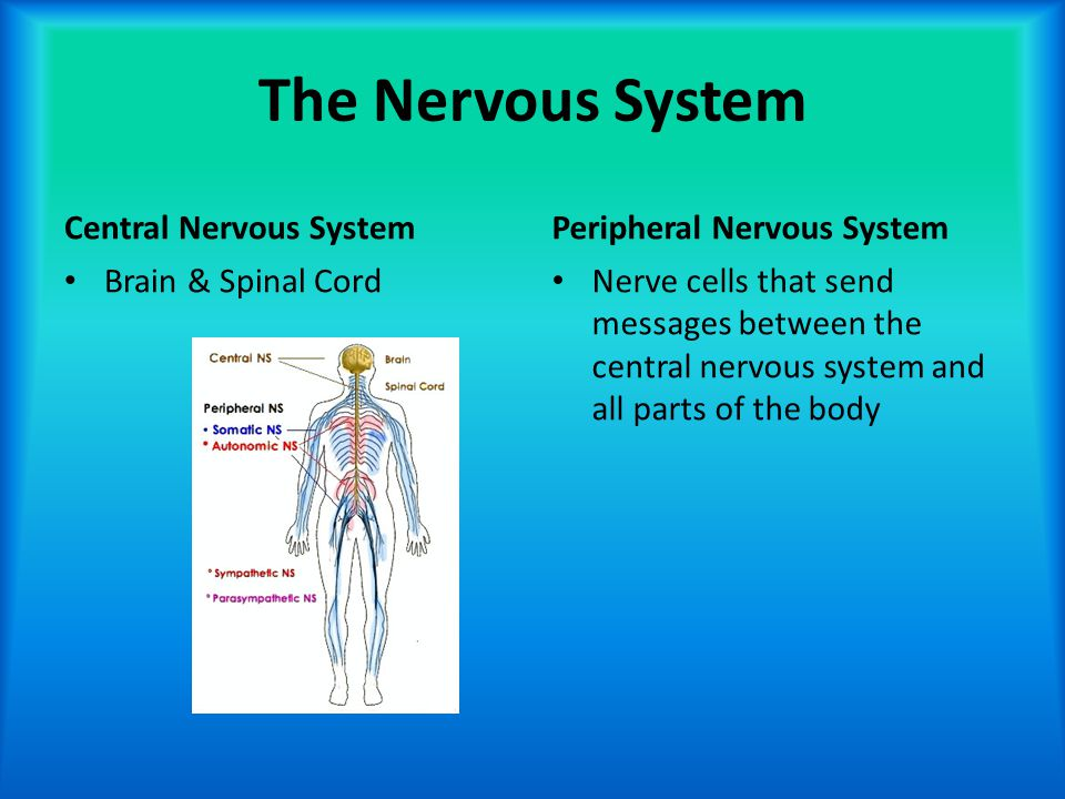 The Nervous System Central Nervous System Brain & Spinal Cord Peripheral Nervous System Nerve cells that send messages between the central nervous sys