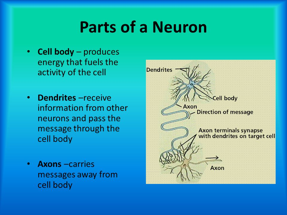 Parts of a Neuron Cell body – produces energy that fuels the activity of the cell Dendrites –receive information from other neurons and pass the messa