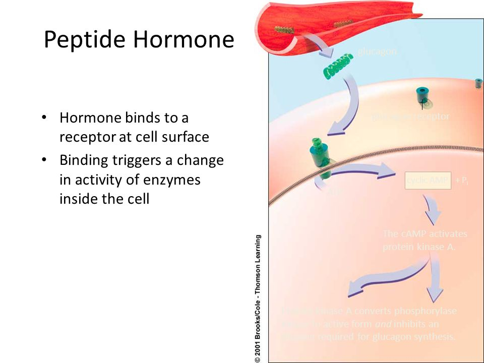 Peptide Hormone Hormone binds to a receptor at cell surface Binding triggers a change in activity of enzymes inside the cell glucagon receptor cyclic AMP+ P i ATP The cAMP activates protein kinase A.