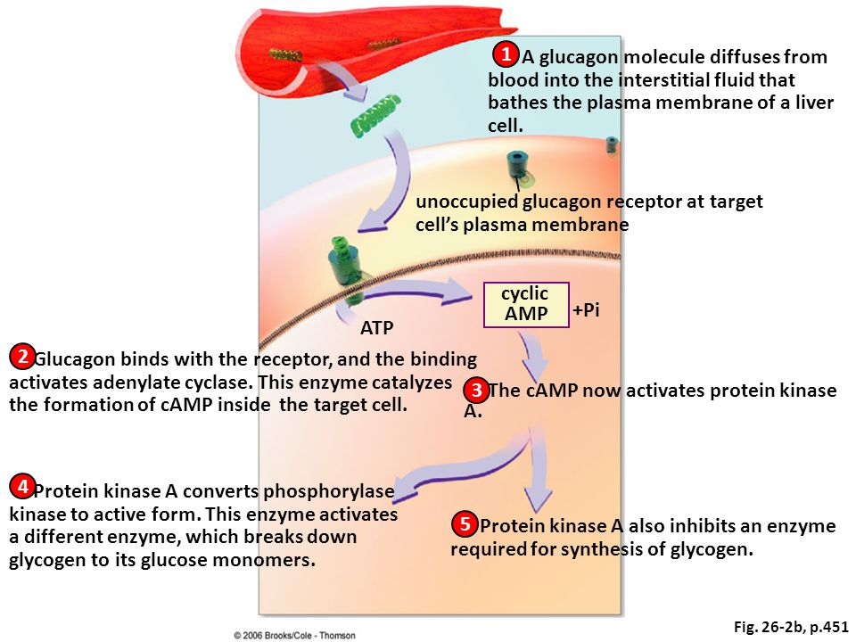 ATP +Pi The cAMP now activates protein kinase A.