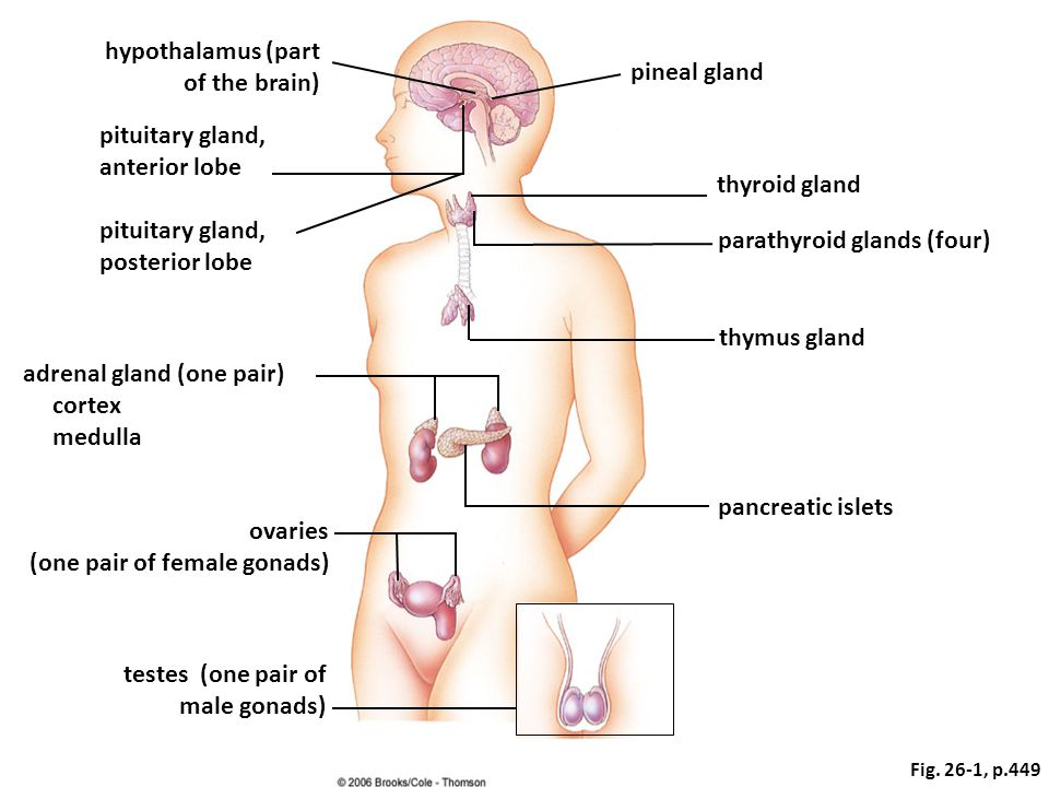 hypothalamus (part of the brain) pituitary gland, anterior lobe pituitary gland, posterior lobe adrenal gland (one pair) cortex medulla ovaries (one pair of female gonads) testes (one pair of male gonads) pineal gland thyroid gland parathyroid glands (four) thymus gland pancreatic islets Fig.