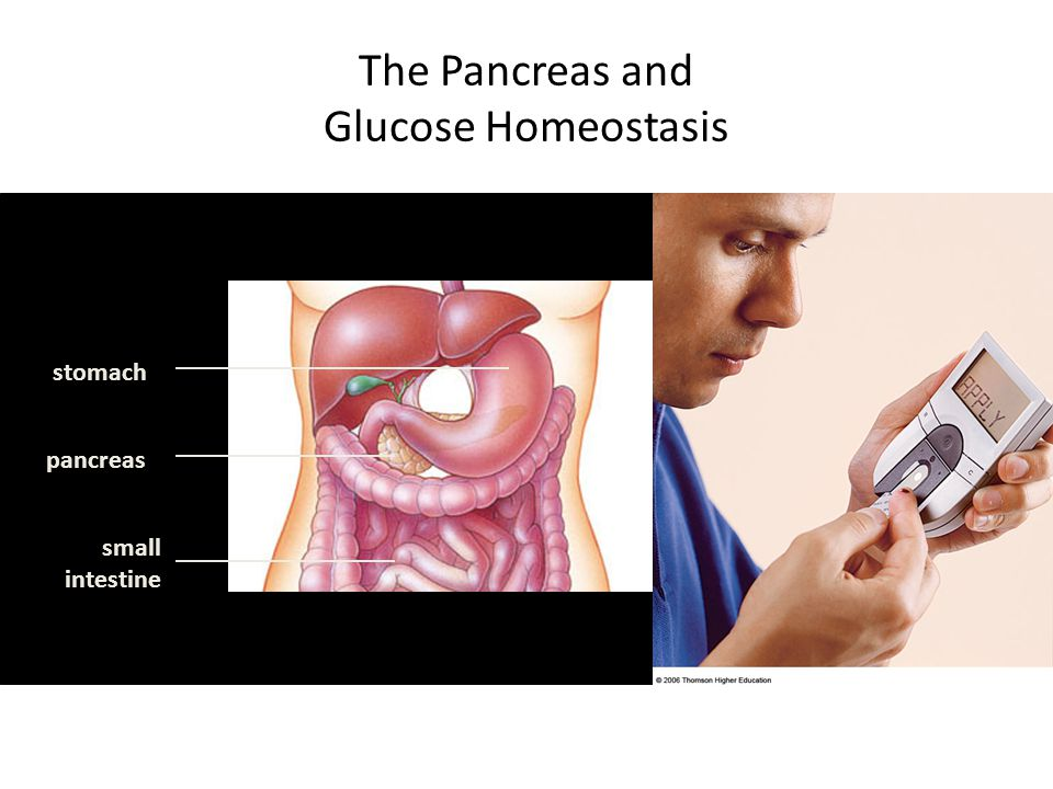 The Pancreas and Glucose Homeostasis stomach pancreas small intestine