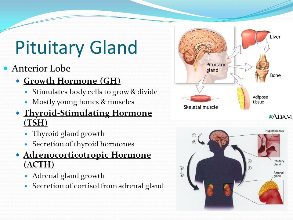 Pituitary Gland Anterior Lobe Growth Hormone (GH) Stimulates body cells to grow & divide Mostly young bones & muscles Thyroid-Stimulating Hormone (TSH