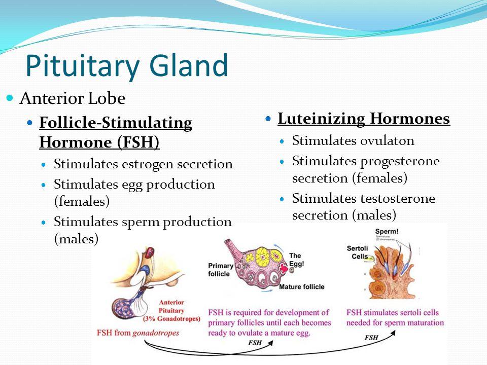 Pituitary Gland Anterior Lobe Follicle-Stimulating Hormone (FSH) Stimulates estrogen secretion Stimulates egg production (females) Stimulates sperm pr