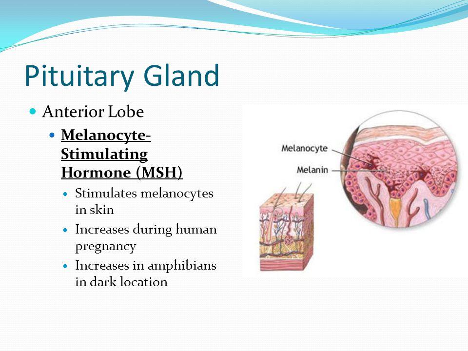 Pituitary Gland Anterior Lobe Melanocyte- Stimulating Hormone (MSH) Stimulates melanocytes in skin Increases during human pregnancy Increases in amphi