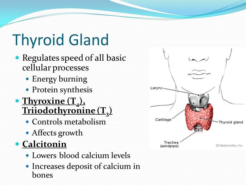 Thyroid Gland Regulates speed of all basic cellular processes Energy burning Protein synthesis Thyroxine (T 4 ), Triiodothyronine (T 3 ) Controls meta